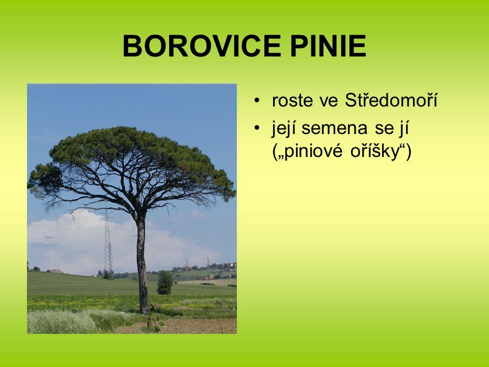 """BOROVICE PINIE roste ve Středomoří její semena se jí (""""piniové oříšky"""")"""