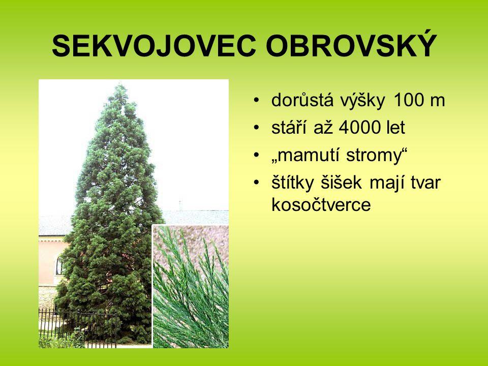 """SEKVOJOVEC OBROVSKÝ dorůstá výšky 100 m stáří až 4000 let """"mamutí stromy štítky šišek mají tvar kosočtverce"""