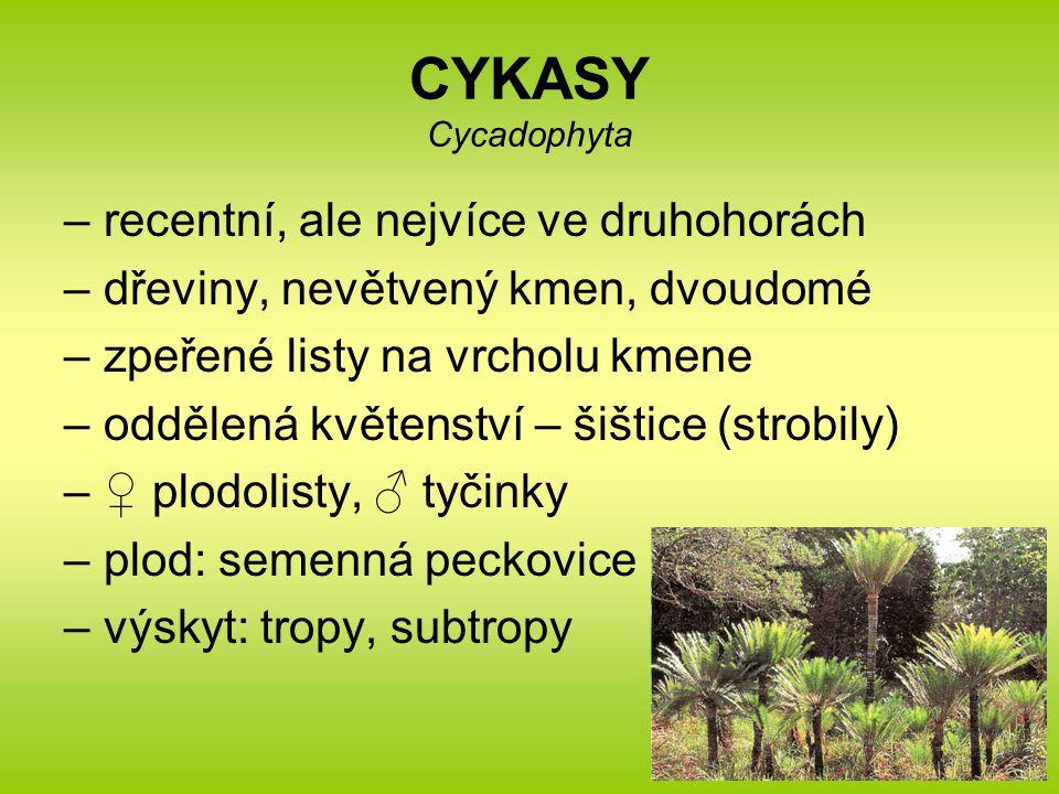 CYKASY Cycadophyta –recentní, ale nejvíce ve druhohorách –dřeviny, nevětvený kmen, dvoudomé –zpeřené listy na vrcholu kmene –oddělená květenství – šiš