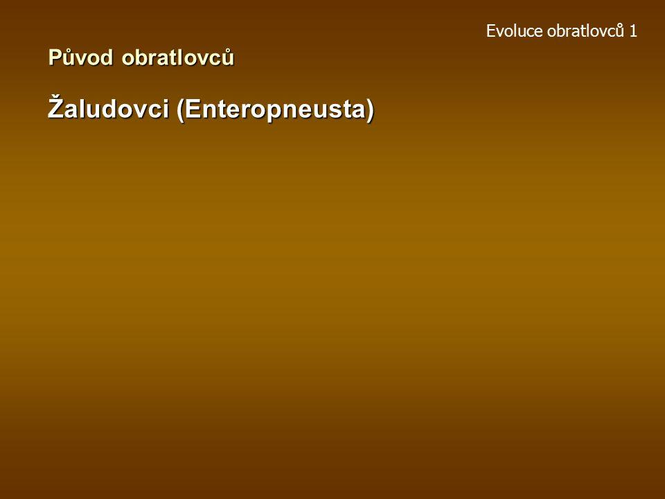 Evoluce obratlovců 1 Ostnokožci (Echinodermata) Původ obratlovců Garstang: larva – možné vztahy ke strunatcům