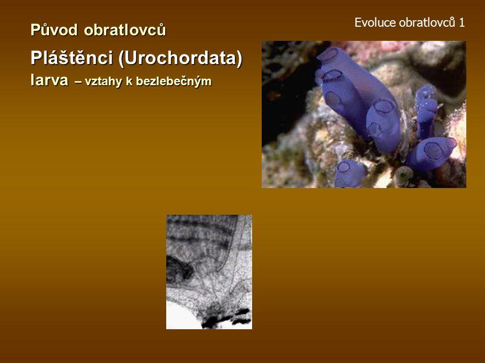Evoluce obratlovců 1 Původ obratlovců Žaludovci (Enteropneusta)