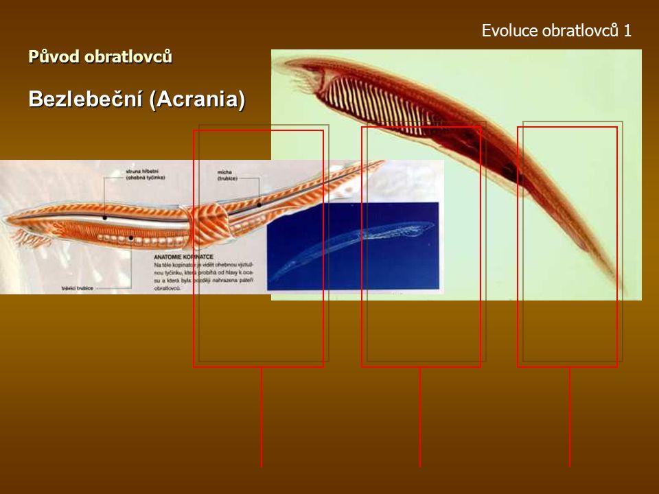 Evoluce obratlovců 1 Pláštěnci (Urochordata) Původ obratlovců larva – vztahy k bezlebečným