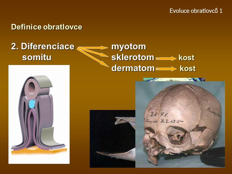 Evoluce obratlovců 1 Definice obratlovce 1.Kostní tkáň somity - mesoderm, neurální lišta - ektoderm Osifikace enchondrální (sklerotom, neurální lišta)enchondrální (sklerotom, neurální lišta) endesmální(dermatom)endesmální(dermatom) Typ a) osifikace svalů (os cordis, os penis, os marsupii, basibranchialia) basibranchialia) Typ b) osifikace šlach Kostní tkáň vznikla z potřeby deponovat přebytek anorganických solí a remobilizovat je v případě metabolické potřeby (např.