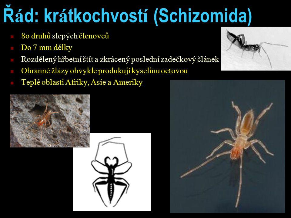 Ř á d: kr á tkochvost í (Schizomida) 8o druhů slepých členovců Do 7 mm délky Rozdělený hřbetní štít a zkrácený poslední zadečkový článek Obranné žlázy obvykle produkují kyselinu octovou Teplé oblasti Afriky, Asie a Ameriky