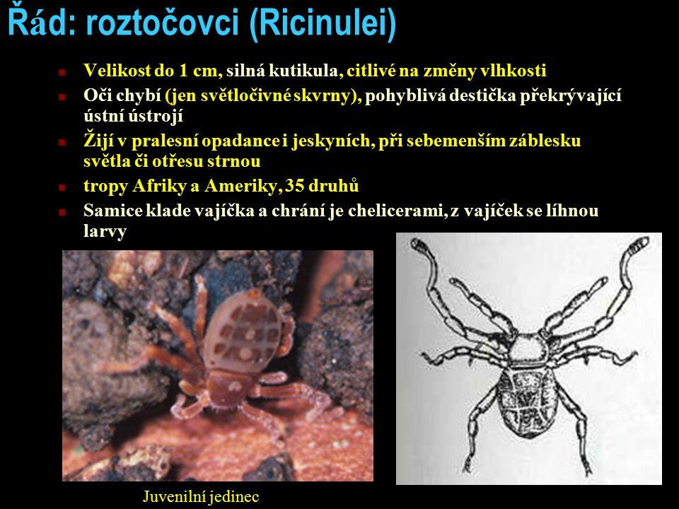 Ř á d: roztočovci (Ricinulei) Velikost do 1 cm, silná kutikula, citlivé na změny vlhkosti Oči chybí (jen světločivné skvrny), pohyblivá destička překr