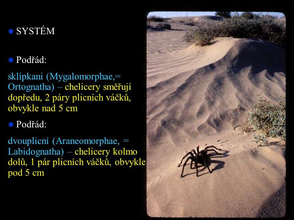 SYSTÉM Podřád: sklípkani (Mygalomorphae,= Ortognatha) – chelicery směřují dopředu, 2 páry plicních váčků, obvykle nad 5 cm Podřád: dvouplicní (Araneomorphae, = Labidognatha) – chelicery kolmo dolů, 1 pár plicních váčků, obvykle pod 5 cm