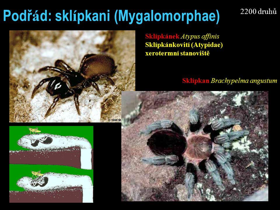 Podř á d: skl í pkani (Mygalomorphae) Sklípkánek Atypus affinis Sklípkánkovití (Atypidae) xerotermní stanoviště Sklípkan Brachypelma angustum 2200 druhů