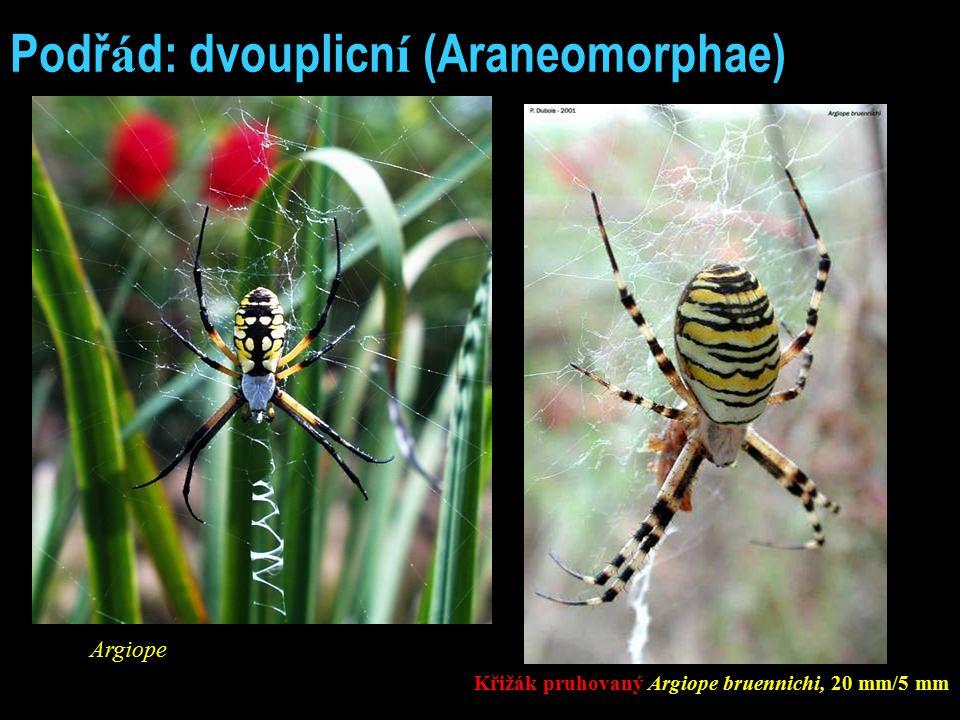 Podř á d: dvouplicn í (Araneomorphae) Argiope Křižák pruhovaný Argiope bruennichi, 20 mm/5 mm