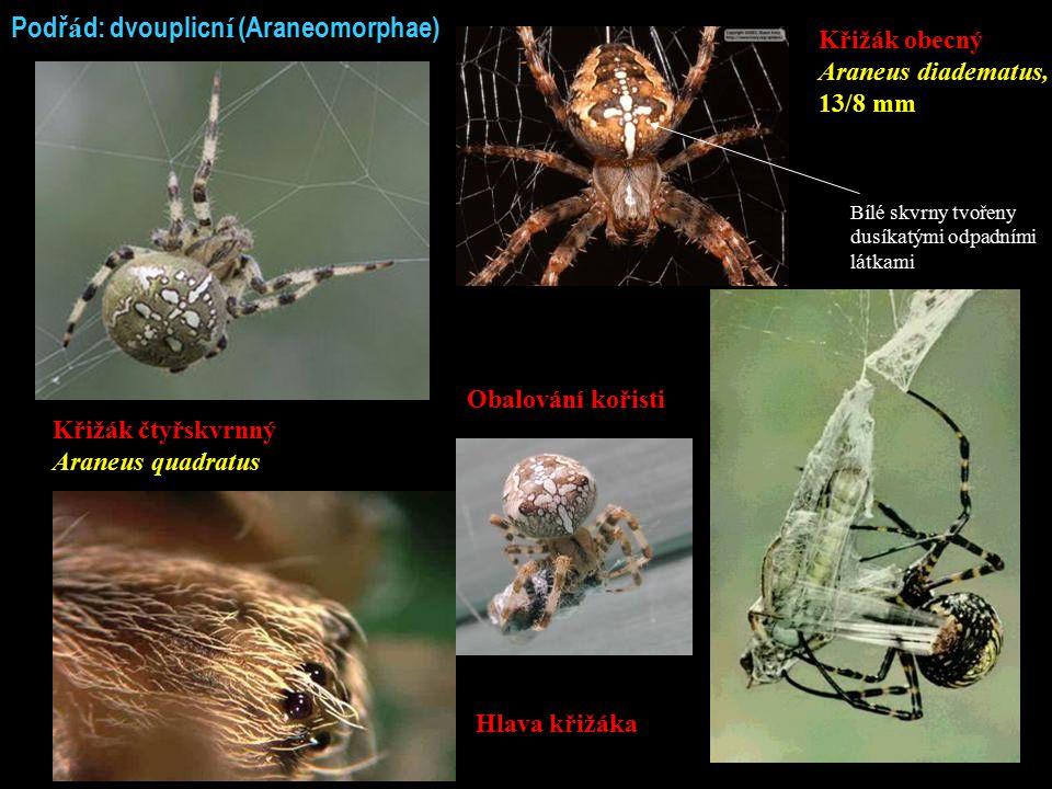 Podř á d: dvouplicn í (Araneomorphae) Křižák čtyřskvrnný Araneus quadratus Křižák obecný Araneus diadematus, 13/8 mm Hlava křižáka Obalování kořisti B