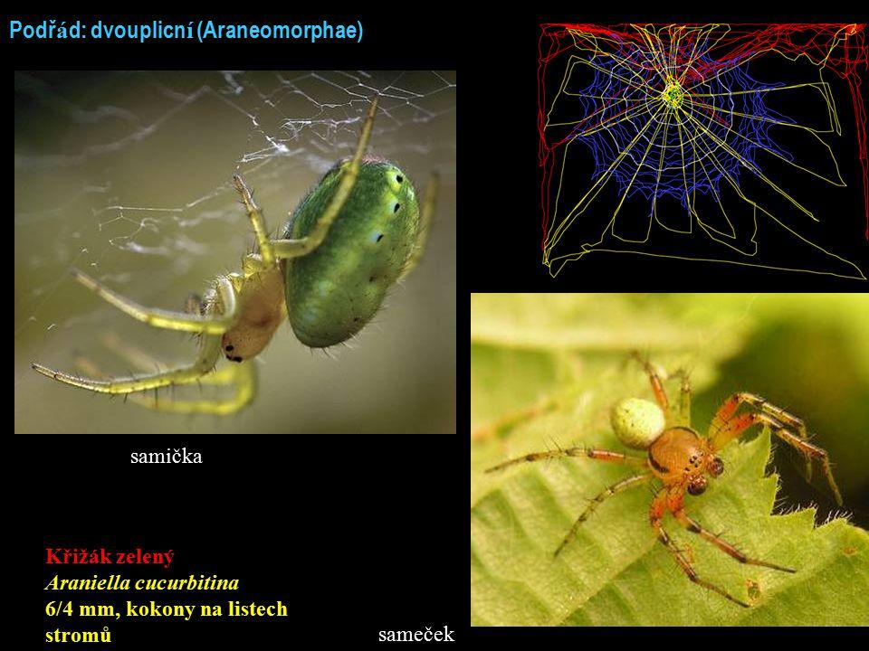 Podř á d: dvouplicn í (Araneomorphae) Křižák zelený Araniella cucurbitina 6/4 mm, kokony na listech stromů samička sameček