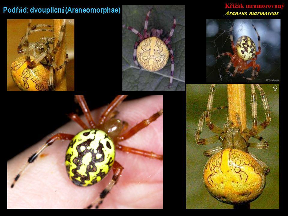 Podř á d: dvouplicn í (Araneomorphae) Křižák mramorovaný Araneus marmoreus