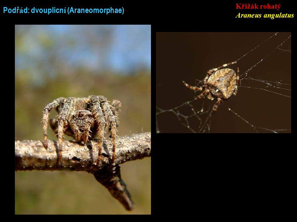 Podř á d: dvouplicn í (Araneomorphae) Křižák rohatý Araneus angulatus