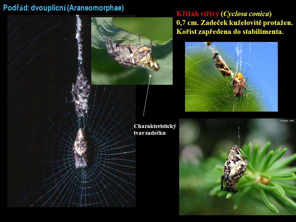 Podř á d: dvouplicn í (Araneomorphae) Křižák vířivý (Cyclosa conica) 0,7 cm. Zadeček kuželovitě protažen. Kořist zapředena do stabilimenta. Charakteri