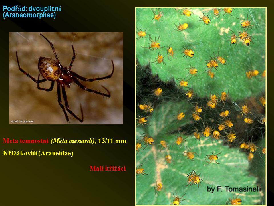 Podř á d: dvouplicn í (Araneomorphae) Malí křižáci Meta temnostní (Meta menardi), 13/11 mm Křižákovití (Araneidae)