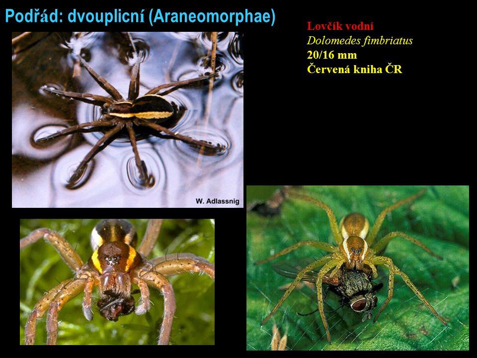 Podř á d: dvouplicn í (Araneomorphae) Lovčík vodní Dolomedes fimbriatus 20/16 mm Červená kniha ČR