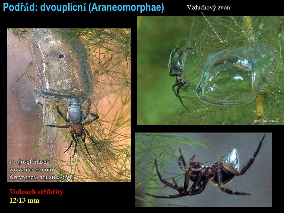 Podř á d: dvouplicn í (Araneomorphae) Vodouch stříbřitý 12/13 mm Vzduchový zvon