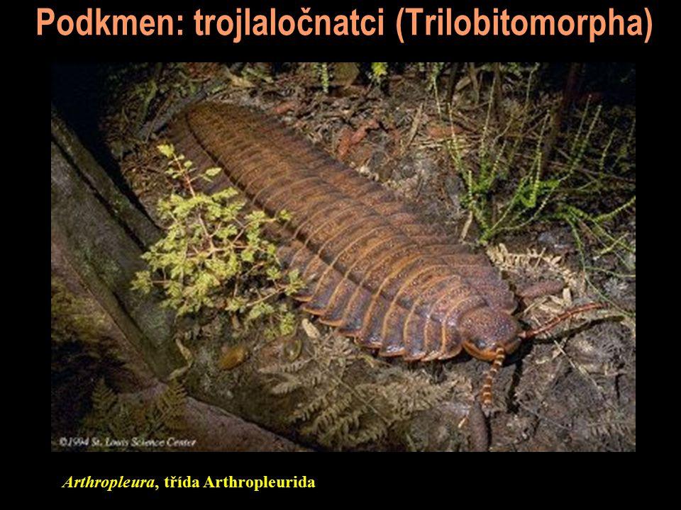 Podkmen: trojlaločnatci (Trilobitomorpha) Arthropleura, třída Arthropleurida