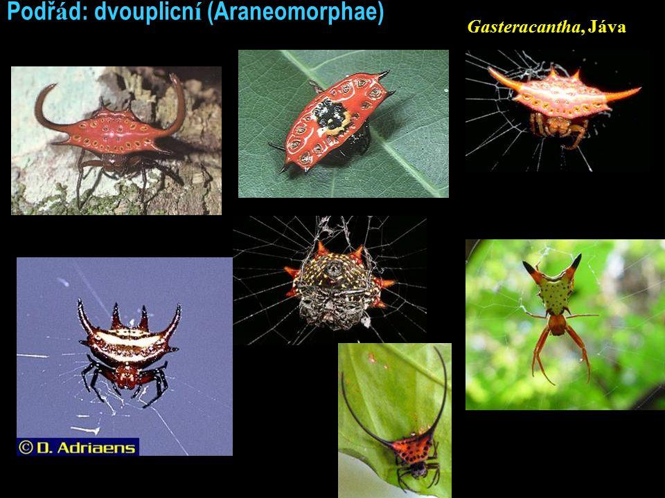Podř á d: dvouplicn í (Araneomorphae) Gasteracantha, Jáva