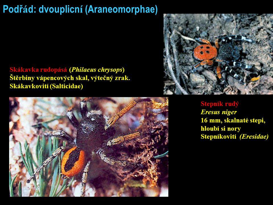 Podř á d: dvouplicn í (Araneomorphae) Skákavka rudopásá (Philaeus chrysops) Štěrbiny vápencových skal, výtečný zrak. Skákavkovití (Salticidae) Stepník