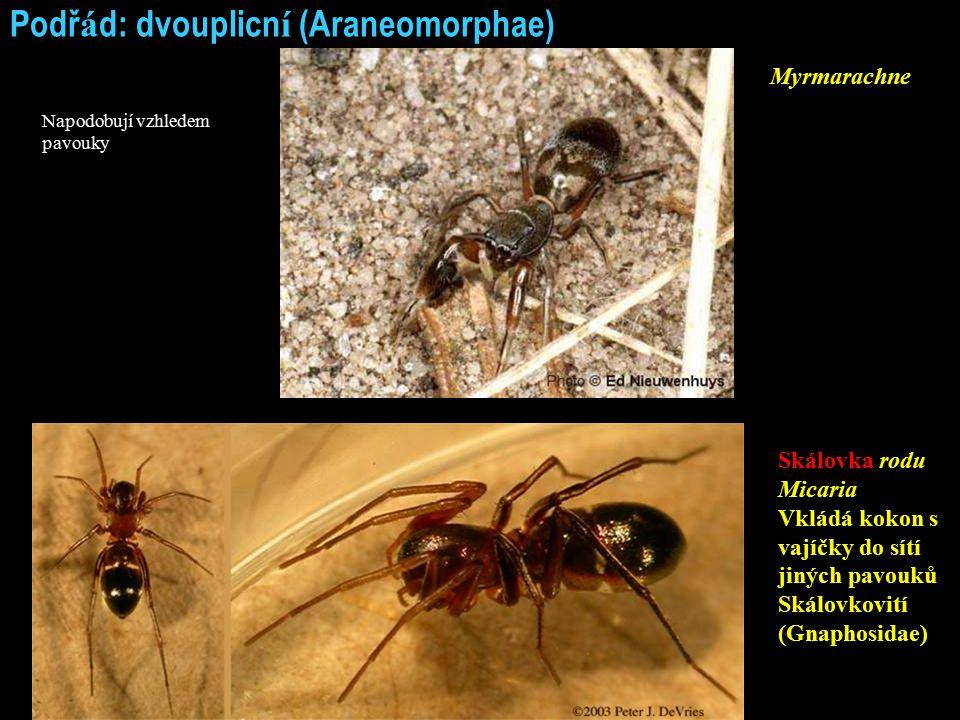 Podř á d: dvouplicn í (Araneomorphae) Skálovka rodu Micaria Vkládá kokon s vajíčky do sítí jiných pavouků Skálovkovití (Gnaphosidae) Myrmarachne Napodobují vzhledem pavouky