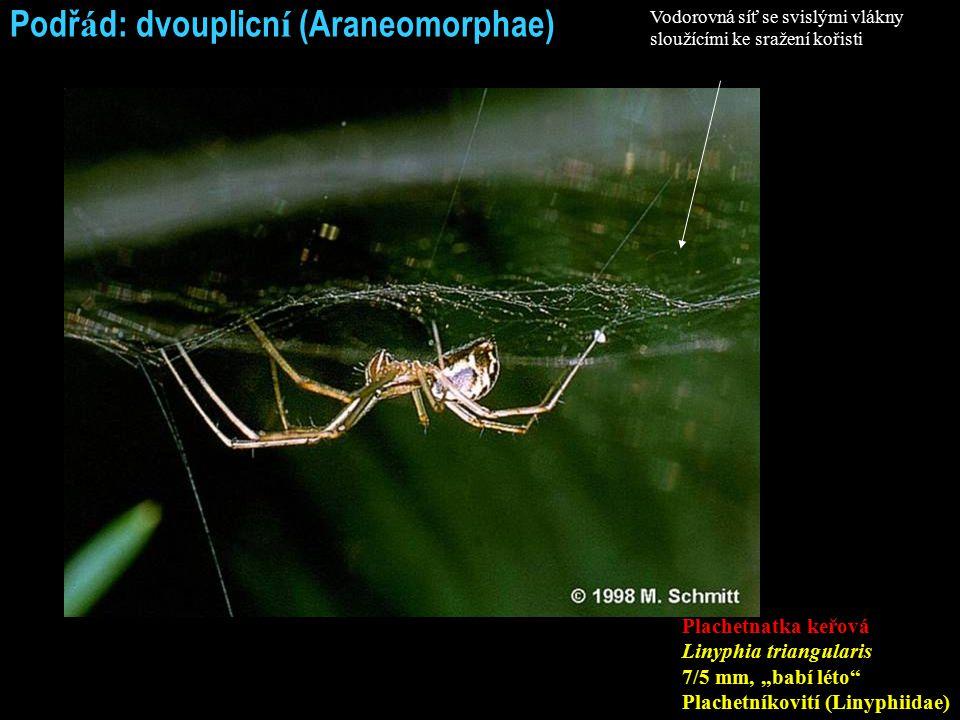 """Podř á d: dvouplicn í (Araneomorphae) Plachetnatka keřová Linyphia triangularis 7/5 mm, """"babí léto Plachetníkovití (Linyphiidae) Vodorovná síť se svislými vlákny sloužícími ke sražení kořisti"""