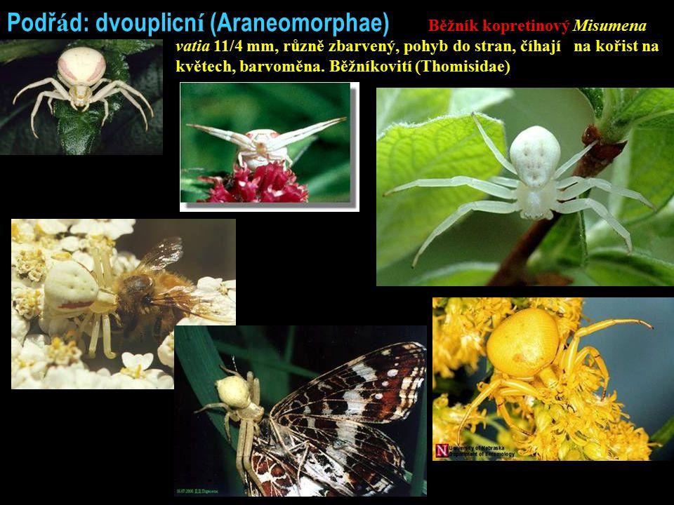 Podř á d: dvouplicn í (Araneomorphae) Běžník kopretinový Misumena vatia 11/4 mm, různě zbarvený, pohyb do stran, číhají na kořist na květech, barvoměna.