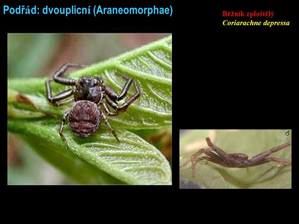 Podř á d: dvouplicn í (Araneomorphae) Běžník zploštělý Coriarachne depressa