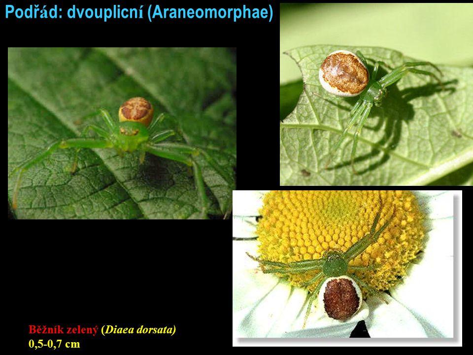 Podř á d: dvouplicn í (Araneomorphae) Běžník zelený (Diaea dorsata) 0,5-0,7 cm