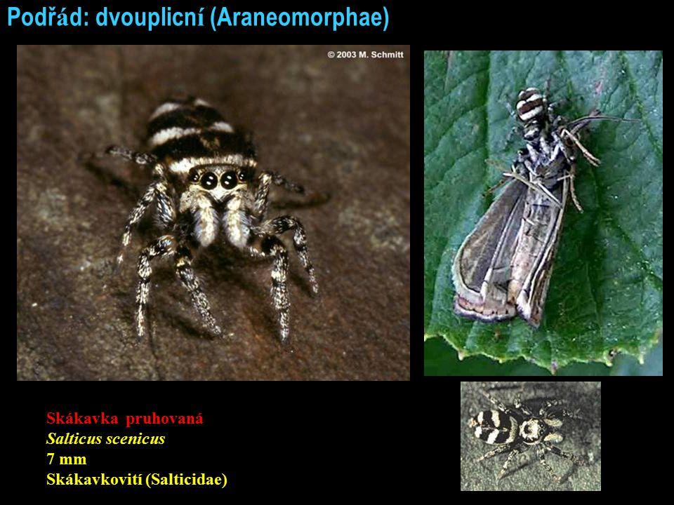 Podř á d: dvouplicn í (Araneomorphae) Skákavka pruhovaná Salticus scenicus 7 mm Skákavkovití (Salticidae)