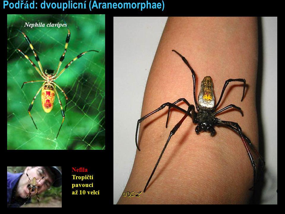 Podř á d: dvouplicn í (Araneomorphae) Nephila clavipes Nefila Tropičtí pavouci až 10 velcí
