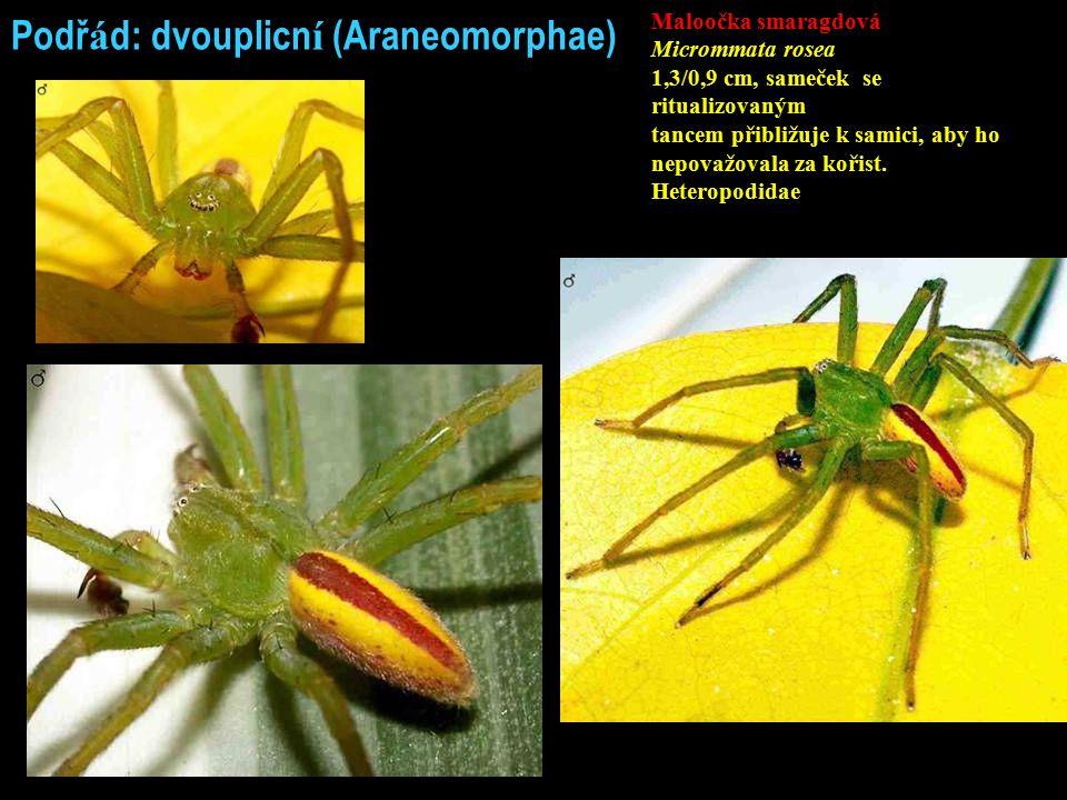 Podř á d: dvouplicn í (Araneomorphae) Maloočka smaragdová Micrommata rosea 1,3/0,9 cm, sameček se ritualizovaným tancem přibližuje k samici, aby ho ne