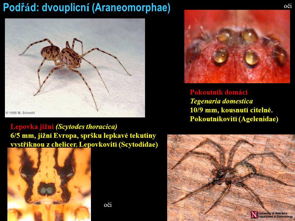 Podř á d: dvouplicn í (Araneomorphae) Lepovka jižní (Scytodes thoracica) 6/5 mm, jižní Evropa, spršku lepkavé tekutiny vystříknou z chelicer.