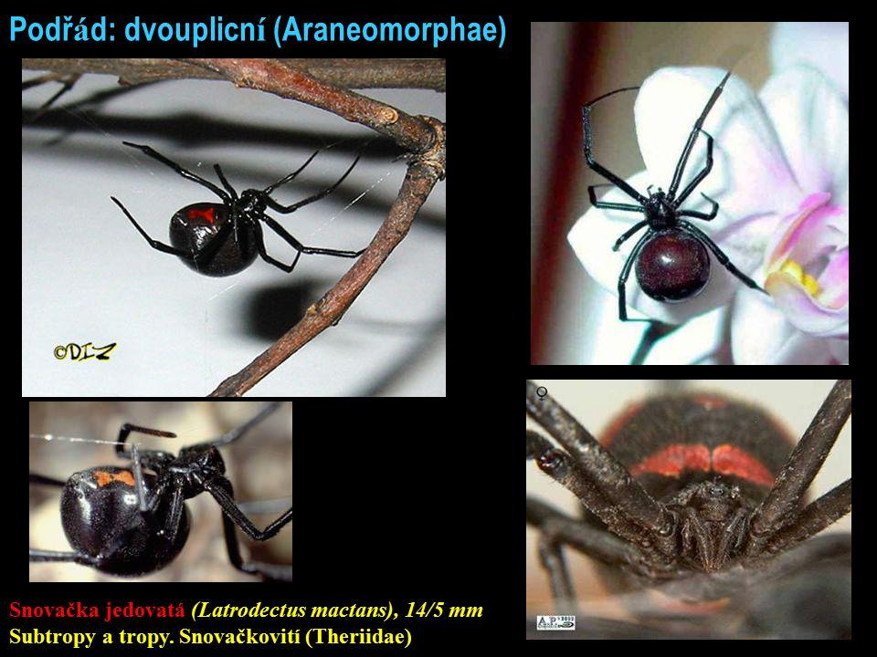 Podř á d: dvouplicn í (Araneomorphae) Snovačka jedovatá (Latrodectus mactans), 14/5 mm Subtropy a tropy. Snovačkovití (Theriidae)