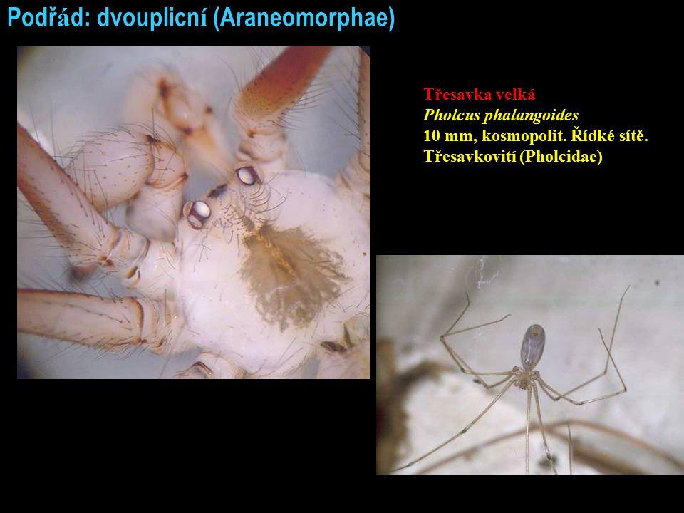 Podř á d: dvouplicn í (Araneomorphae) Třesavka velká Pholcus phalangoides 10 mm, kosmopolit. Řídké sítě. Třesavkovití (Pholcidae)
