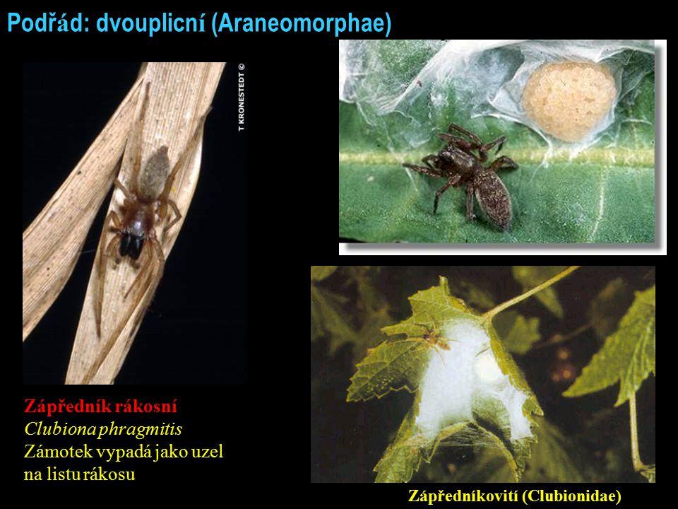 Podř á d: dvouplicn í (Araneomorphae) Zápředník rákosní Clubiona phragmitis Zámotek vypadá jako uzel na listu rákosu Zápředníkovití (Clubionidae)