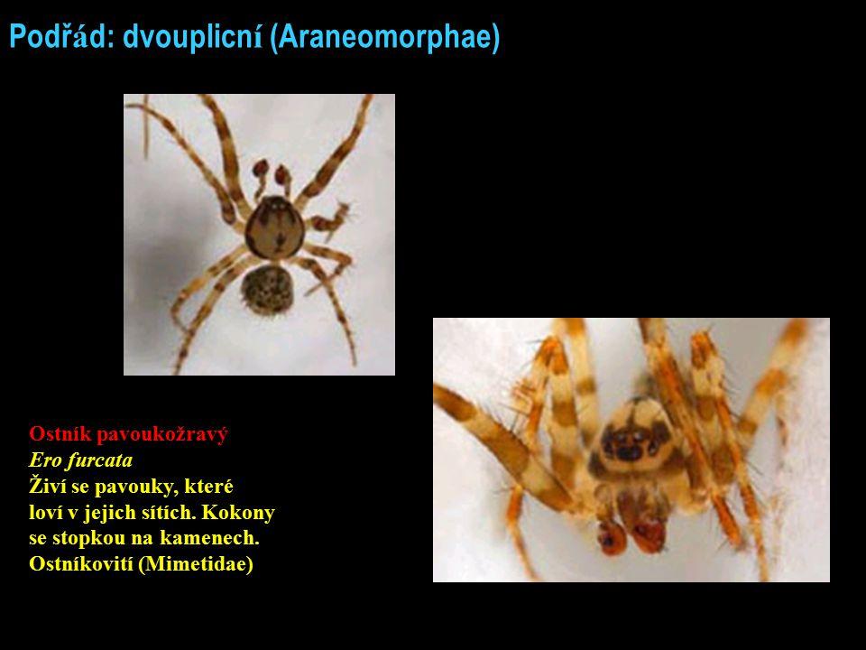 Podř á d: dvouplicn í (Araneomorphae) Ostník pavoukožravý Ero furcata Živí se pavouky, které loví v jejich sítích. Kokony se stopkou na kamenech. Ostn