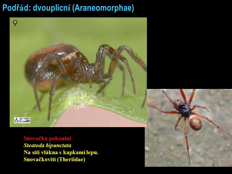Podř á d: dvouplicn í (Araneomorphae) Snovačka pokoutní Steatoda bipunctata Na síti vlákna s kapkami lepu. Snovačkovití (Theriidae)