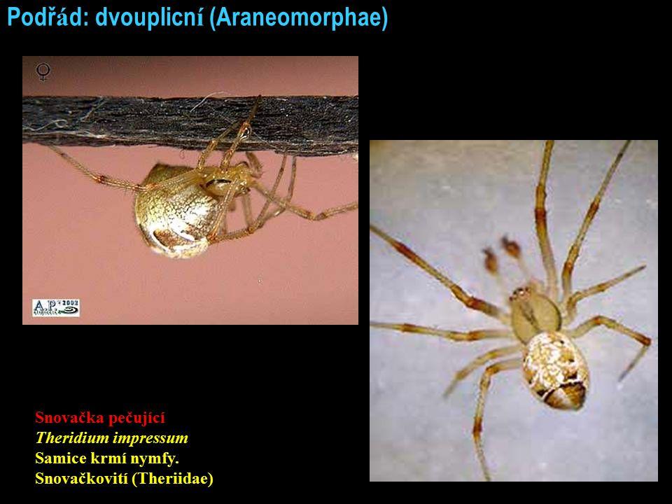 Podř á d: dvouplicn í (Araneomorphae) Snovačka pečující Theridium impressum Samice krmí nymfy. Snovačkovití (Theriidae)