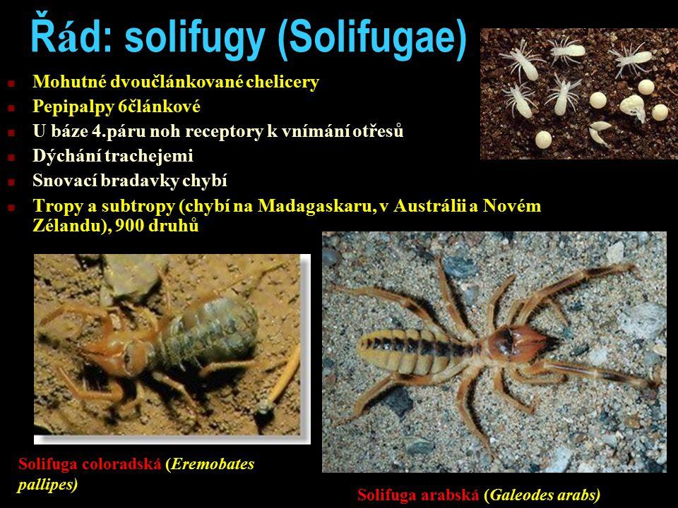Ř á d: solifugy (Solifugae) Mohutné dvoučlánkované chelicery Pepipalpy 6článkové U báze 4.páru noh receptory k vnímání otřesů Dýchání trachejemi Snovací bradavky chybí Tropy a subtropy (chybí na Madagaskaru, v Austrálii a Novém Zélandu), 900 druhů Solifuga arabská (Galeodes arabs) Solifuga coloradská (Eremobates pallipes)