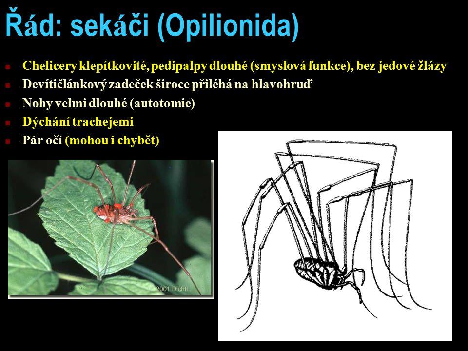 Ř á d: sek á či (Opilionida) Chelicery klepítkovité, pedipalpy dlouhé (smyslová funkce), bez jedové žlázy Devítičlánkový zadeček široce přiléhá na hla
