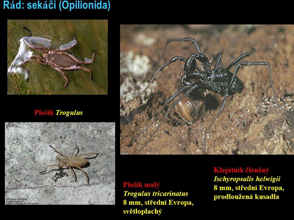 Ř á d: sek á či (Opilionida) Plošík Trogulus Klepítník členěný Ischyropsalis helwigii 8 mm, střední Evropa, prodloužená kusadla Plošík malý Trogulus tricarinatus 8 mm, střední Evropa, světloplachý