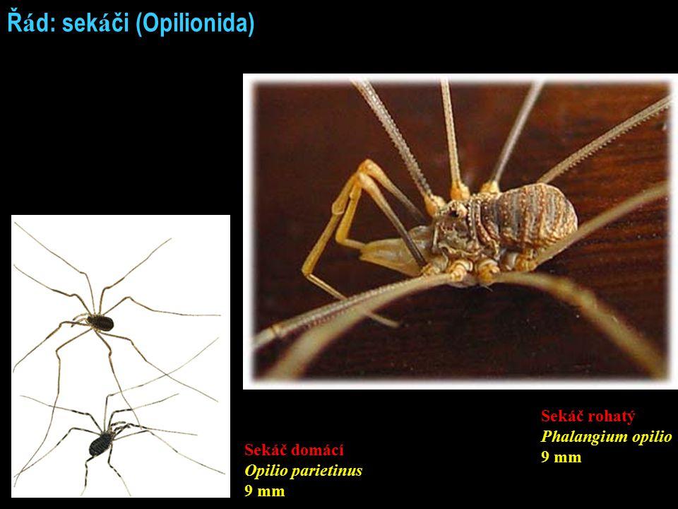 Ř á d: sek á či (Opilionida) Sekáč domácí Opilio parietinus 9 mm Sekáč rohatý Phalangium opilio 9 mm