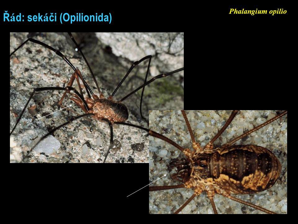 Ř á d: sek á či (Opilionida) Phalangium opilio