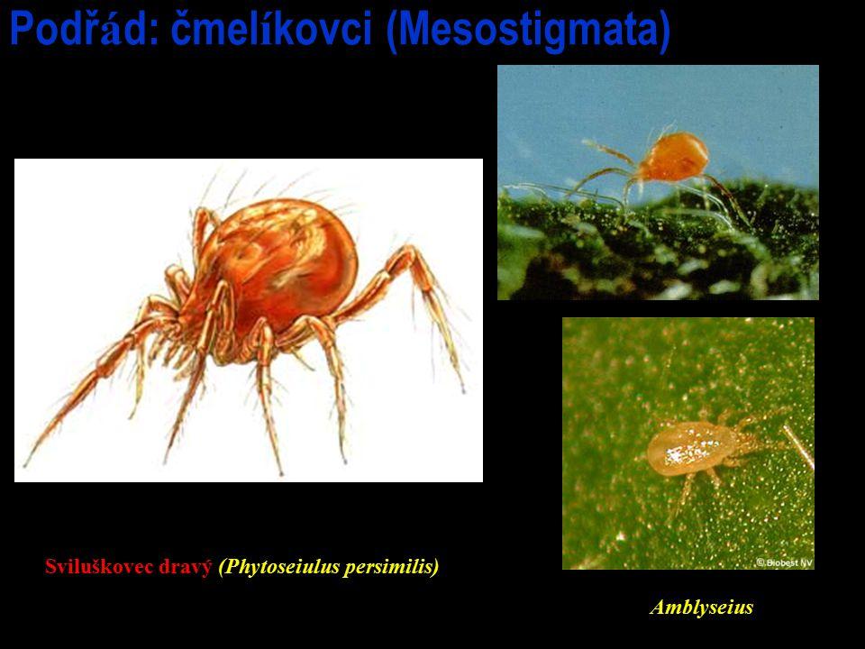 Podř á d: čmel í kovci (Mesostigmata) Sviluškovec dravý (Phytoseiulus persimilis) Amblyseius