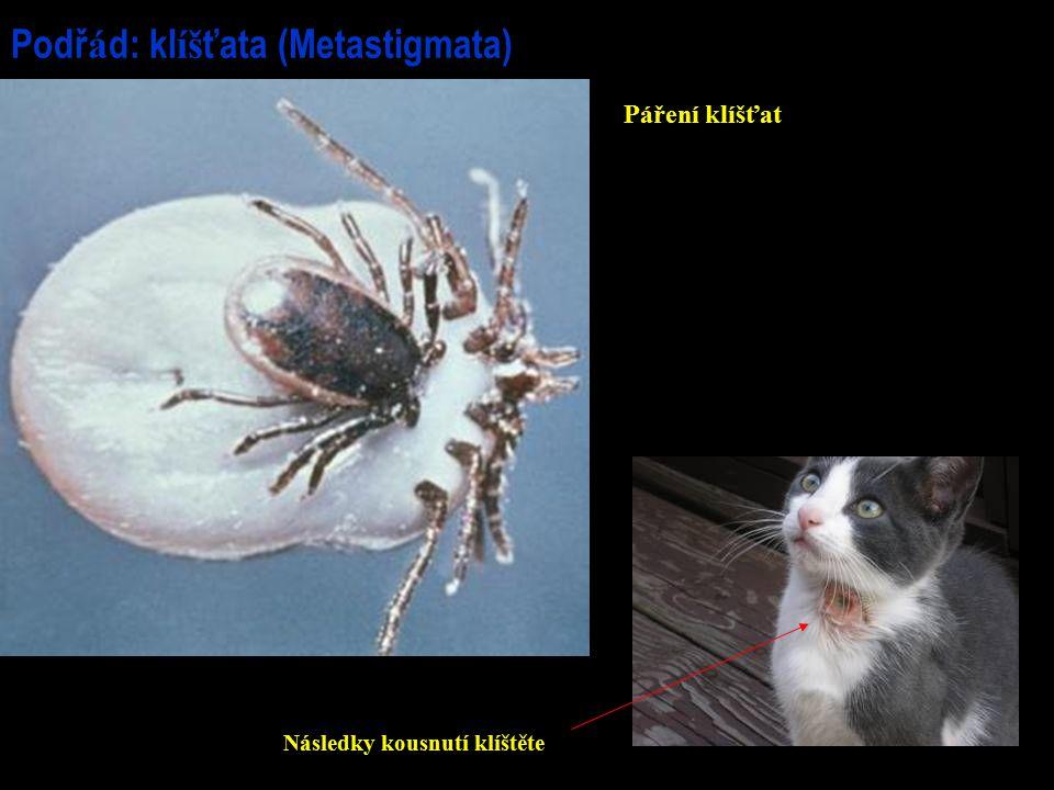 Podř á d: kl íš ťata (Metastigmata) Páření klíšťat Následky kousnutí klíštěte