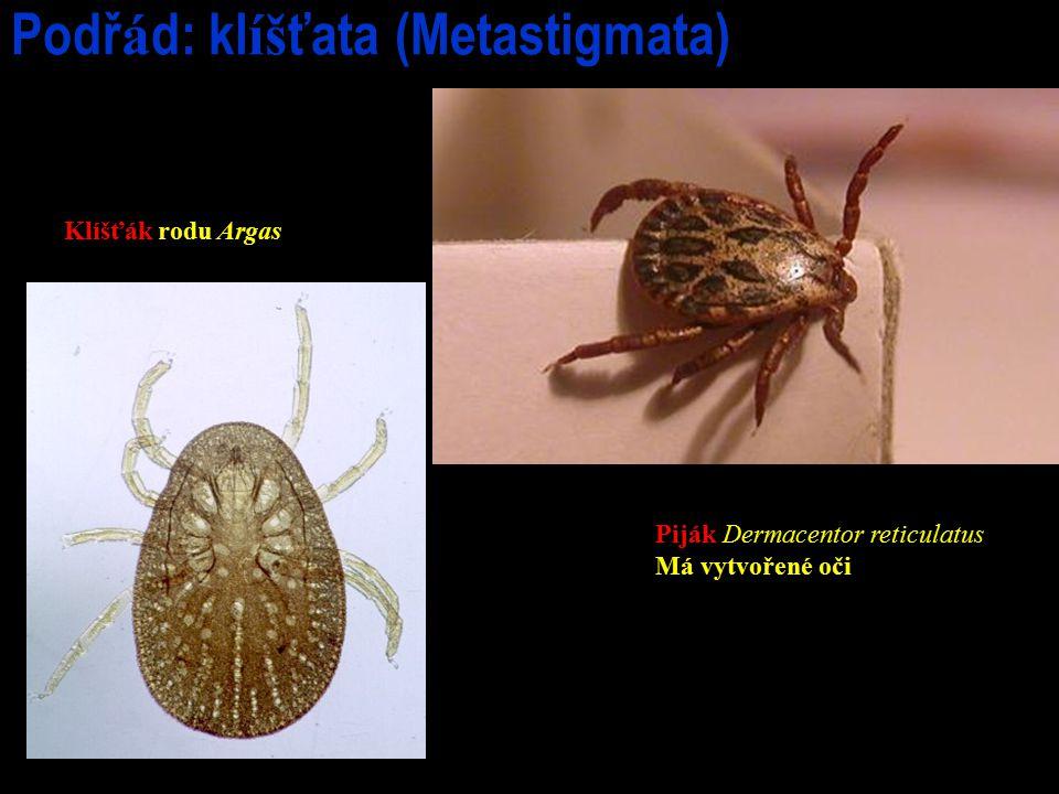 Podř á d: kl íš ťata (Metastigmata) Klíšťák rodu Argas Piják Dermacentor reticulatus Má vytvořené oči