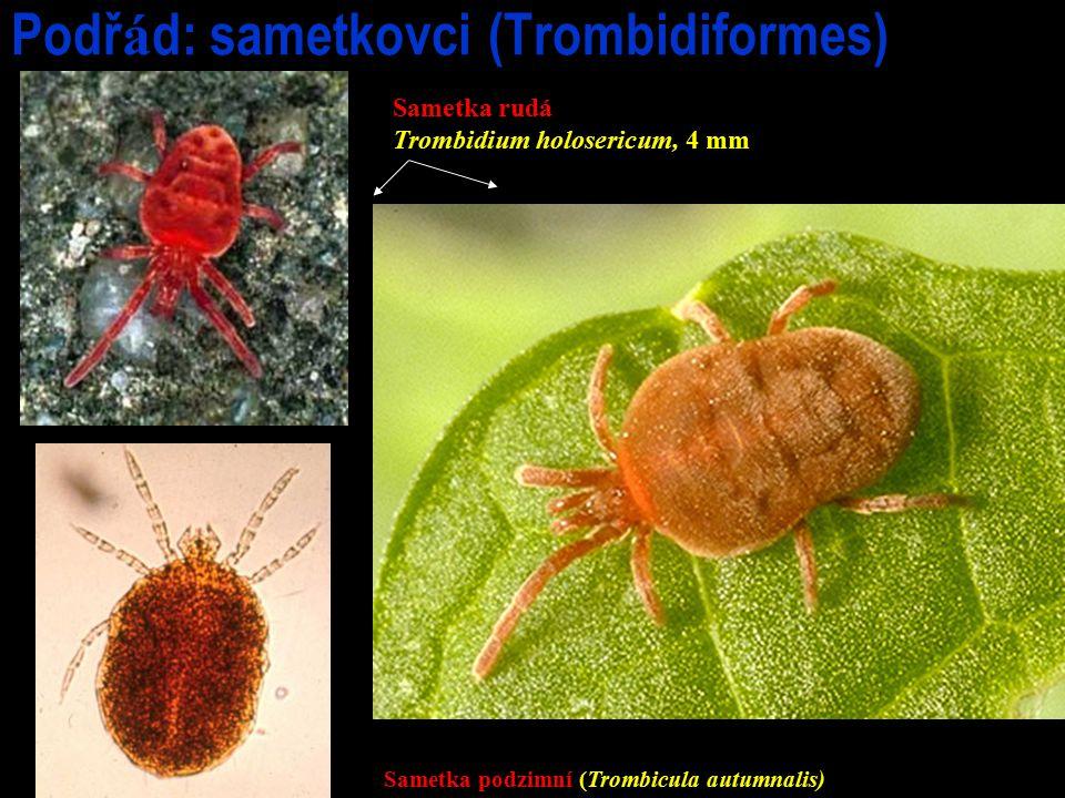 Podř á d: sametkovci (Trombidiformes) Sametka rudá Trombidium holosericum, 4 mm Sametka podzimní (Trombicula autumnalis)