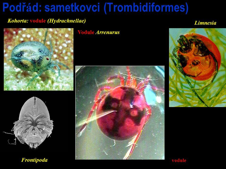 Podř á d: sametkovci (Trombidiformes) Vodule Arrenurus Frontipoda vodule Limnesia Kohorta: vodule (Hydrachnellae)