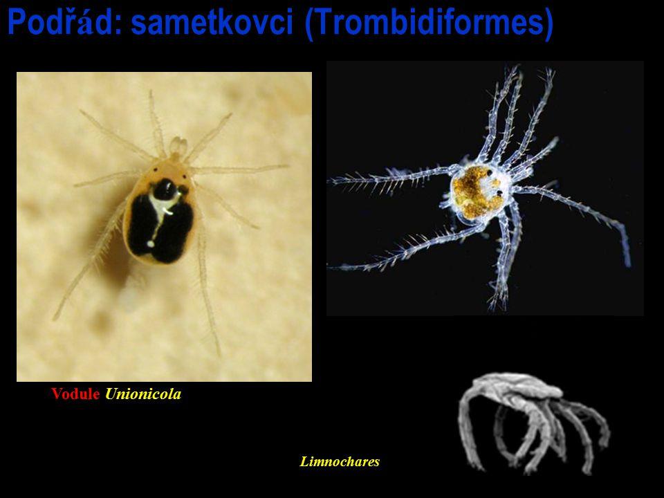 Podř á d: sametkovci (Trombidiformes) Vodule Unionicola Limnochares