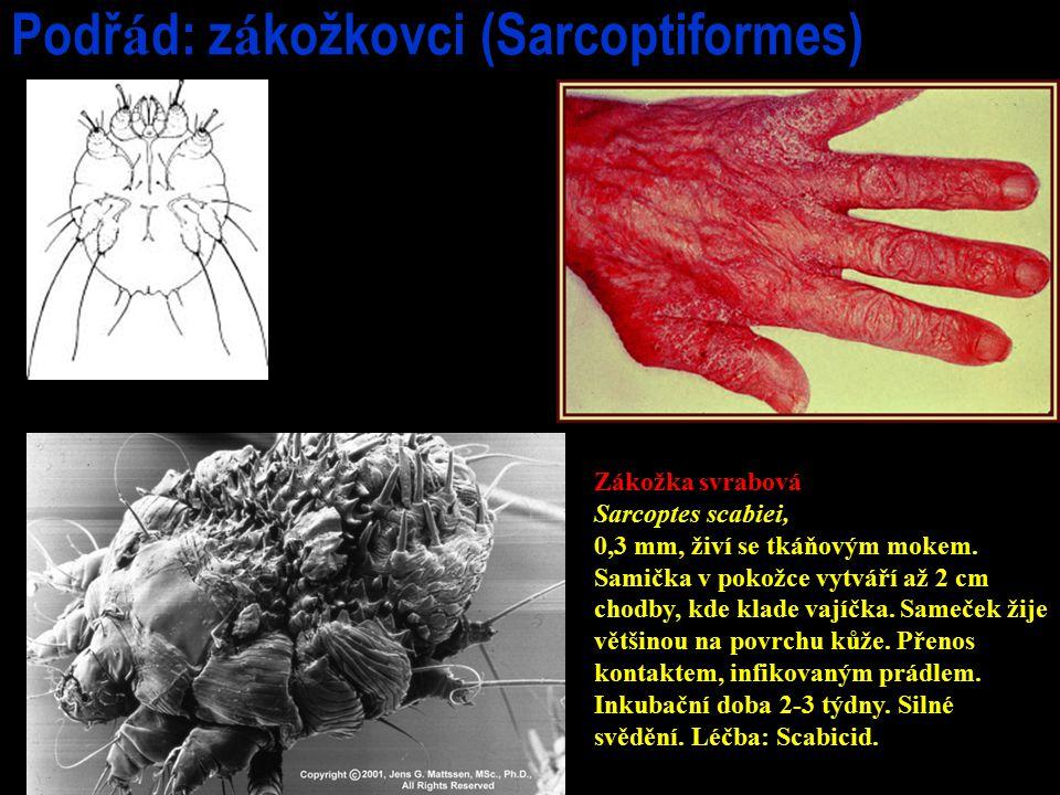 Podř á d: z á kožkovci (Sarcoptiformes) Zákožka svrabová Sarcoptes scabiei, 0,3 mm, živí se tkáňovým mokem. Samička v pokožce vytváří až 2 cm chodby,